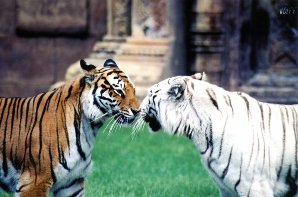 Kissing_Tigers