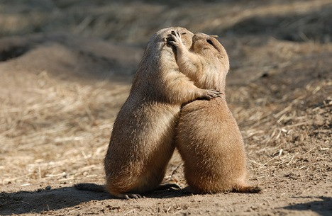 prairie-dogs-kissing