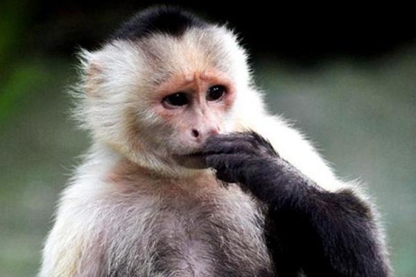 capuccian monkey