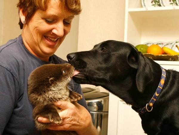 dog-kissing-otter