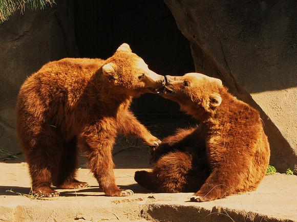 bears kissing