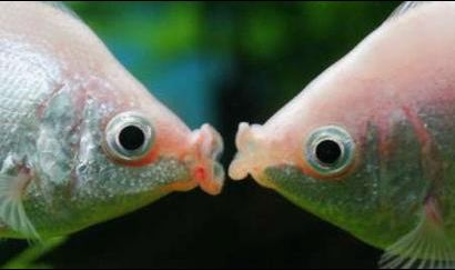 tropical kissing fish