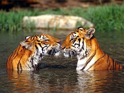 tigers-1