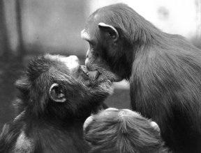 i-0cda1d85419a054370102bdfad1e4630-_external_relations_down_loads_chimp_kiss_credit_Frans_de_Waal_small