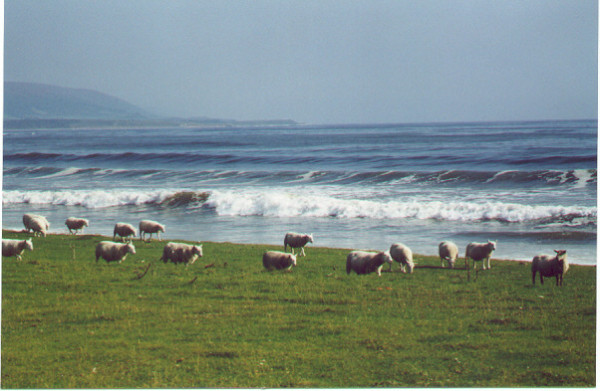 Brora Sheep