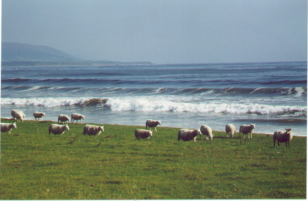 Brora Sheep
