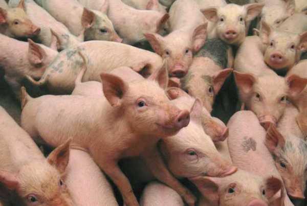 -pigs-36848670-2817-2113-2